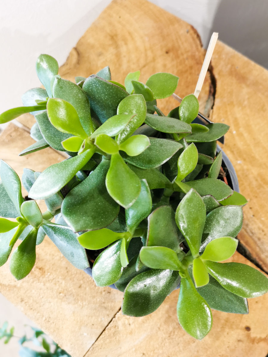 Succulente arbre de jade