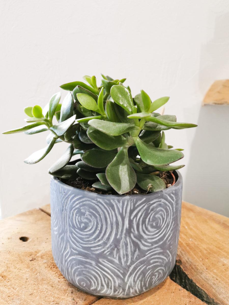 Plante grasse arbre à jade